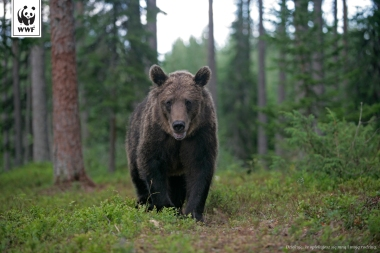 European brown bear, Ursus arctos arctos, single mammal in woodland, Finland